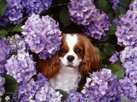 Картина раскраска по номерам 50x65 Собачка выглядывает из-за цветов