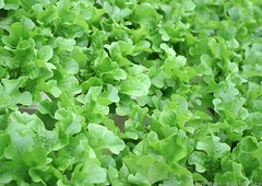 Элькредо семена салата дуболистного (Гавриш)