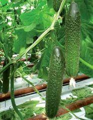 Гефест F1 семена огурца партенокарпического (De Ruiter Seeds / Де Ройтер Сидс)
