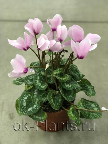 Цикламен Крупноцветковый Магния розовый