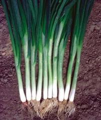 Грин Баннер семена лука на перо (Seminis / Семинис)