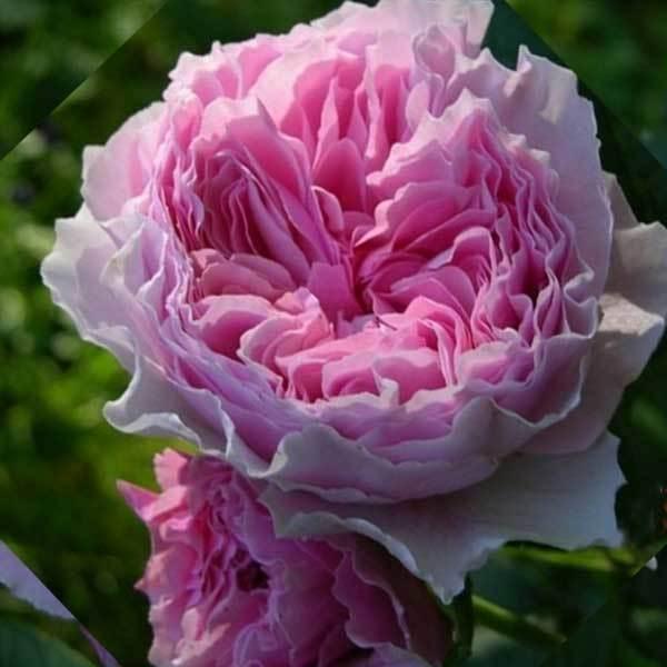 Роза флорибунда Гартентрауме