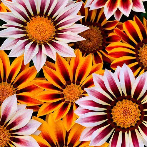 Семена цветов Семена цветов Газания Нью Дэй Тайгер Микс, PanAmerican Seed, 10 шт. Газания-Нью-Дэй-Тайгер-Микс.jpg
