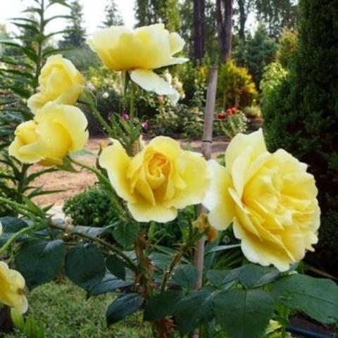 Роза парковая Gelbe Dagmar Hastrup