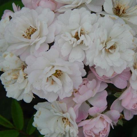 Роза Плетистая Guirlande Rose