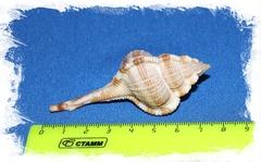 Хаустеллум Дентифер размер