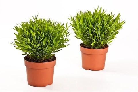 Погонатерум (Комнатный бамбук)