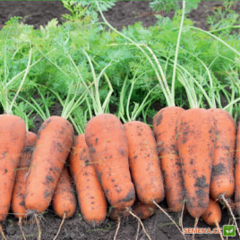 Кюрасао F1 семена моркови курода/шантане (Bejo / Бейо)
