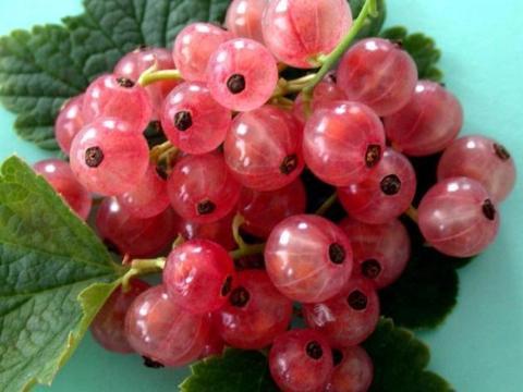 Смородина красная Голландская розовая (С2)-Ribes rubrum Gollandskaya Rozovaya