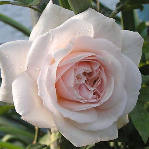 Роза Плетистая Penny Lane