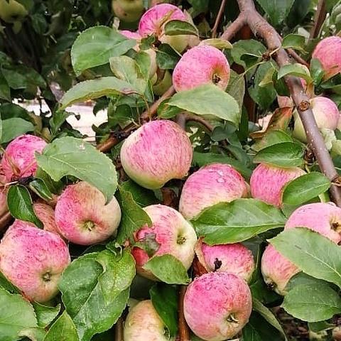 Фотография Яблоки сорта Коричное полосатое /1 кг купить в магазине Афлора