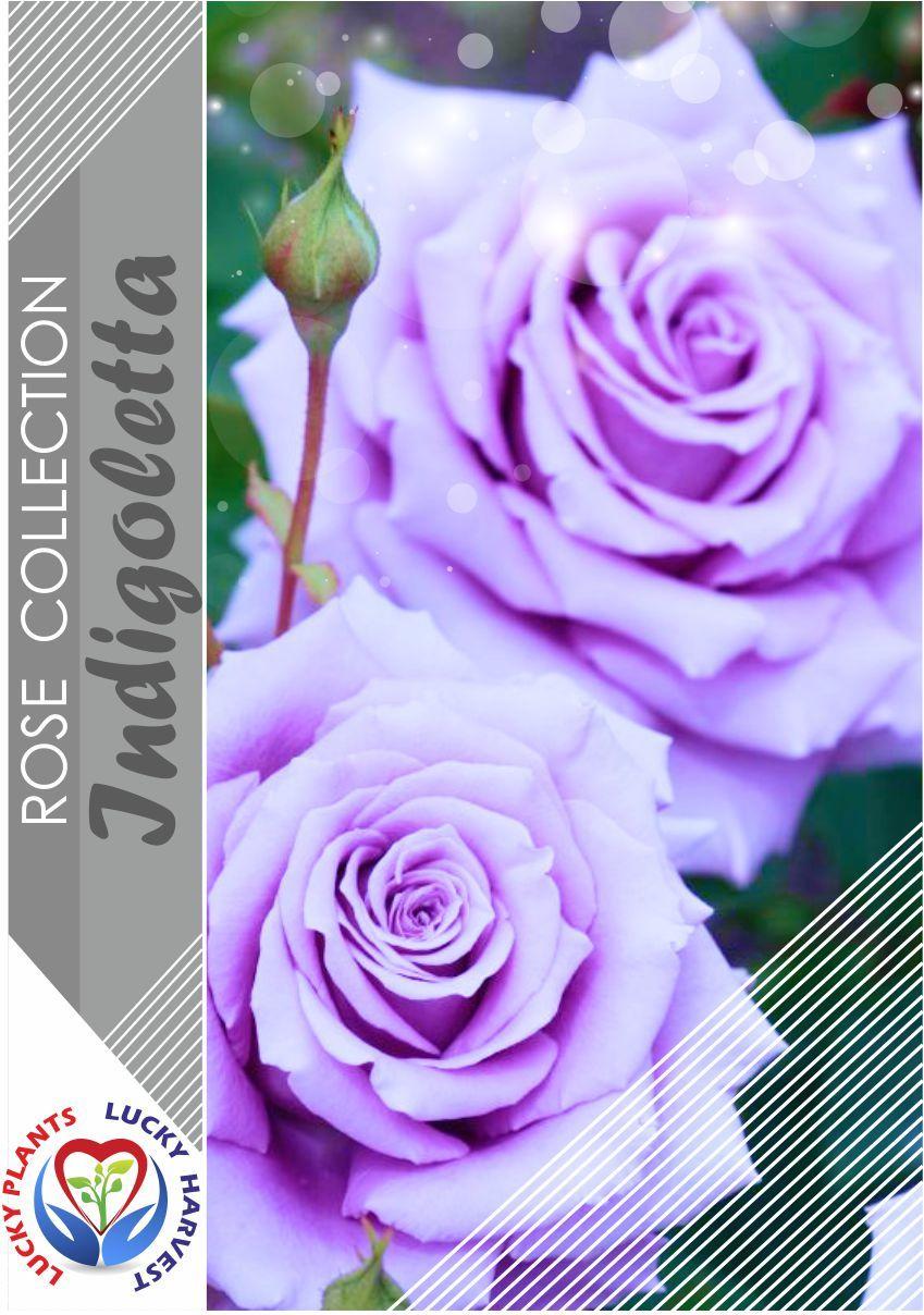 Плетистая роза Indigoletta (Индиголетта)  ТМ LUCKY HARVEST