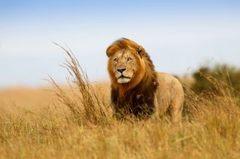 Картина раскраска по номерам 30x40 Вольный лев