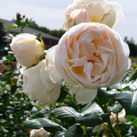 Роза плетистая Uetersener Klosterrose