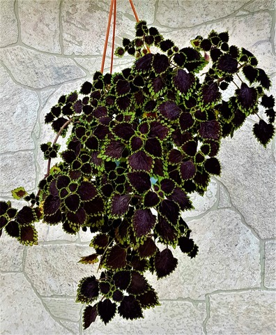 Obsidian (ru)  колеус