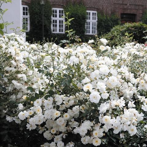 Роза Почвопокровная Schneekonigin