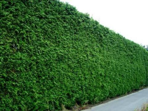 туя брабант 2-3 метра для высокой изгороди