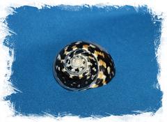 Ракушка Циттариум пика (Cittarium pica)