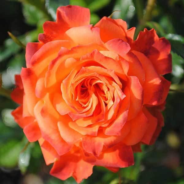 Роза миниатюрная Мандарин Северный огород