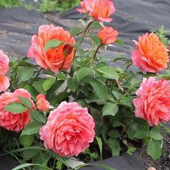 Заказать Роза миниатюрная Мандарин