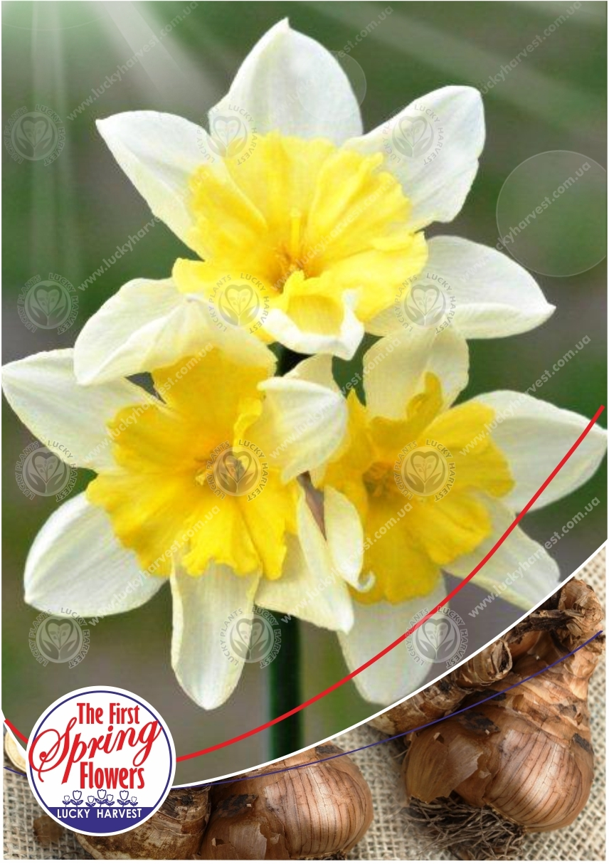 Луковицы Нарцисса   Многоцветкового Крупнокорончатого