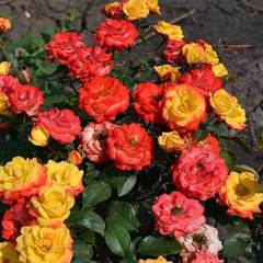 "Роза миниатюрная Мандарин ""Mandarin"""