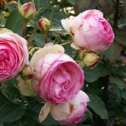 Роза плетистая Мини Эден С6