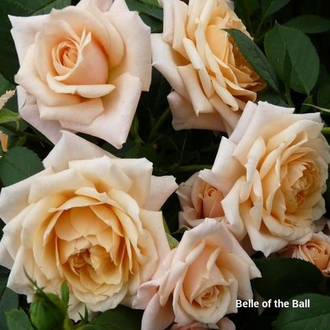 Роза Флорибунда Belle of the Ball