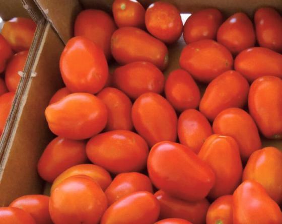 Красный СХД 255 F1 семена томата процессингового (Clause / Клос) схд255.jpg