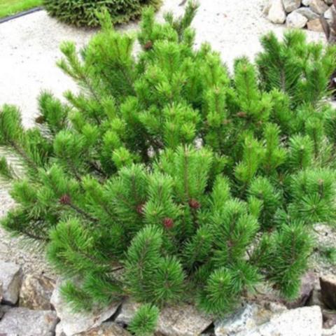 Сосна горная Мугус С20 60-80