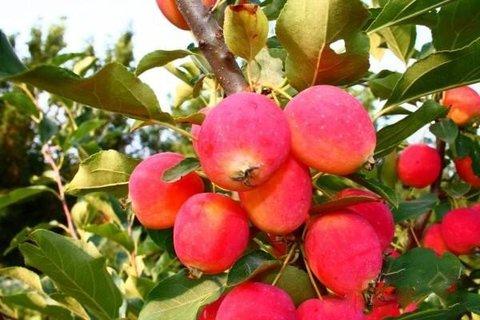 Яблоня Китайка Долго 3-4 летка (С15)