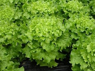 Салат Дедаль семена салата батавия (Vilmorin / Вильморин) ДЕДАЛЬ.JPG