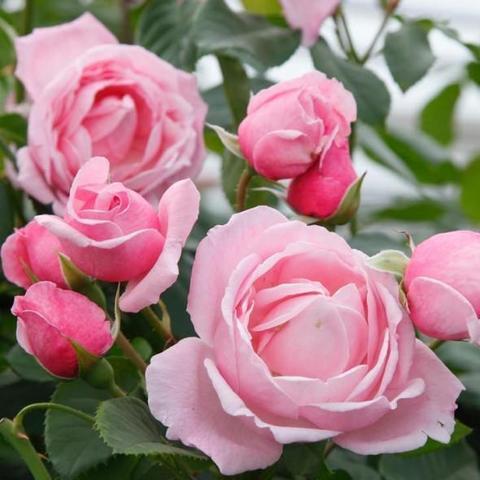 Роза Флорибунда First Kiss