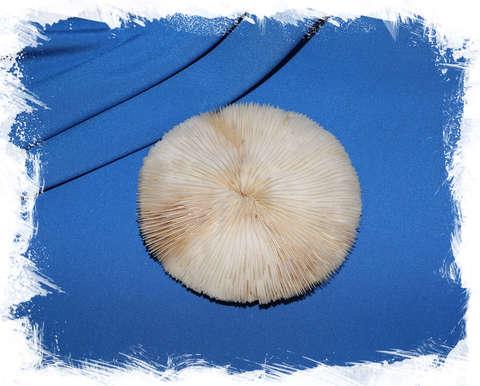 Грибовидный коралл 12 см.