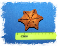 Сушеная морская звезда Патирия Гребешковая, Patiria pectinifer для декора