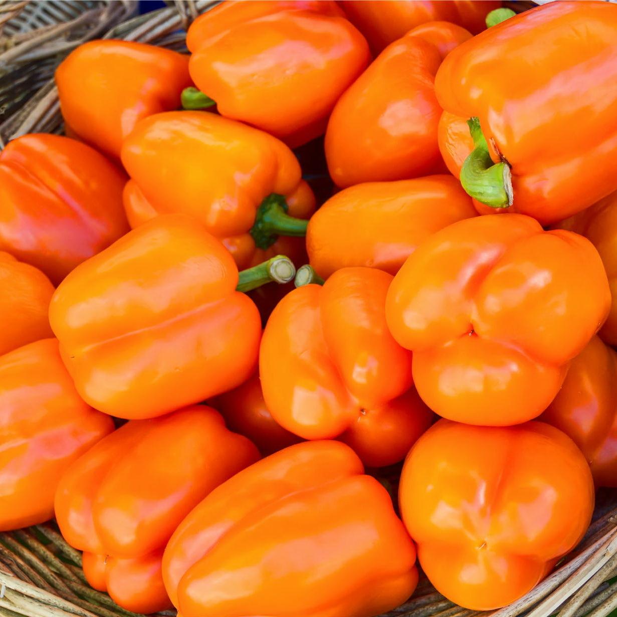 Перец Магно F1 семена перца сладкого (Enza Zaden / Энза Заден) Магно1.jpeg