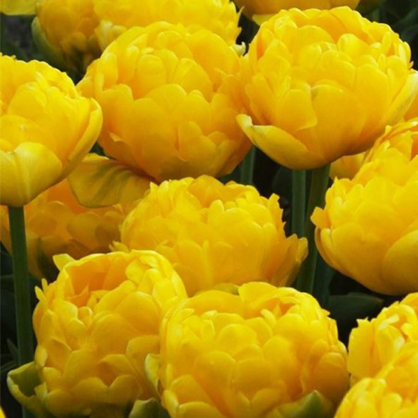 Тюльпан махровый поздний Йеллоу Помпонетт