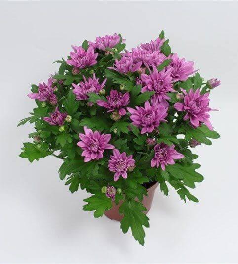 Хризантема пурп. Кристал Лавли
