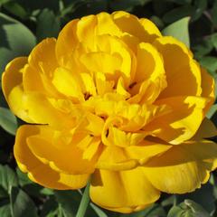 tulip-Yellow-Pomponette-02