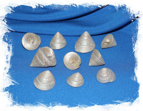 Ракушки Трохус Жемчужный 2,5 - 4 см.