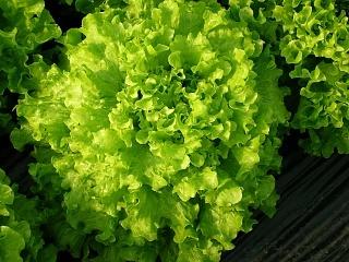 Салат Тональ семена салата батавия (Vilmorin / Вильморин) ТОНАЛЬ.JPG