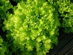 Тональ семена салата батавия (Vilmorin / Вильморин)