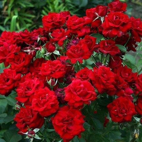 Роза Флорибунда Niccolo Paganini
