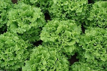 Салат Экскиз семена салата батавия (Vilmorin / Вильморин) ЭКСКИЗ.jpg