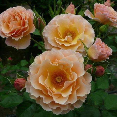 Роза Флорибунда Rebecca Mary