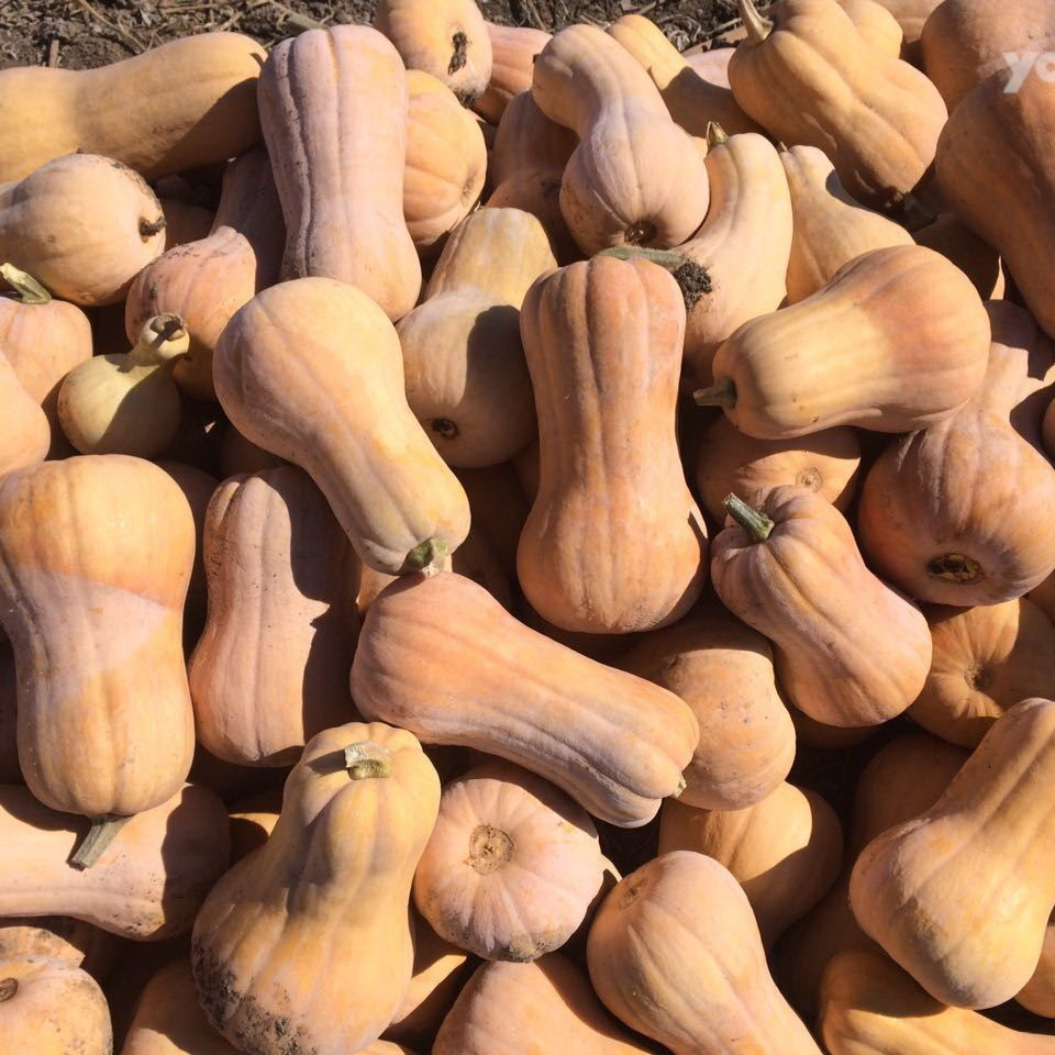 ЛИДЕРЫ ПРОДАЖ Матильда F1 семена тыквы (Enza Zaden / Энза Заден) матильда1.jpg