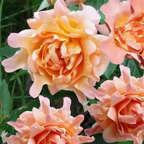Роза Флорибунда Ruffles dream