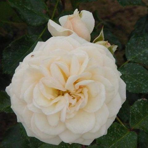 Роза Флорибунда Schweizer Garten
