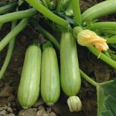 Велиж F1 семена кабачка (Гавриш)