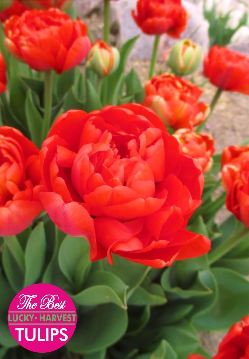 Тюльпан Махровые поздние Мagic Рrice (Меджик Прайз) Украина 5 шт